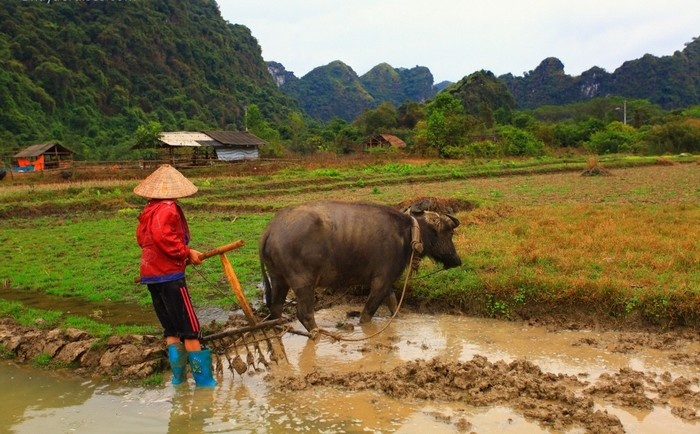 A farmer with her buffalo working on the farm